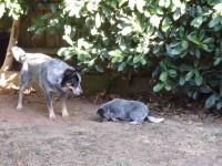 digging-pup