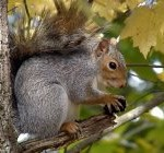 squirrel_s-harvestjpg
